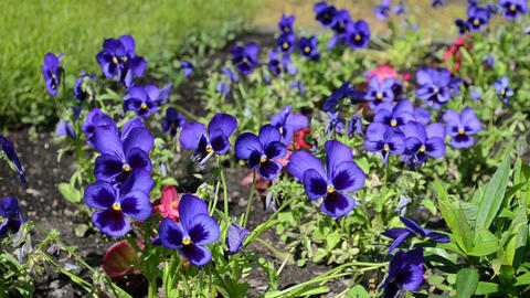 garden blue viola violet pansy flower blooms move in wind Footage