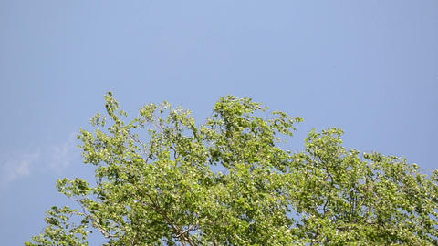 green tree branch leaves move in wind on blue sky background Footage