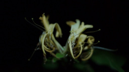 Flower Honeysuckle(Lonicera caprifolium), Italian Honeysuckle Footage