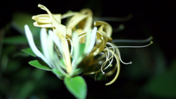 Flower Honeysuckle(Lonicera caprifolium), Italian Honeysuckle 圖片