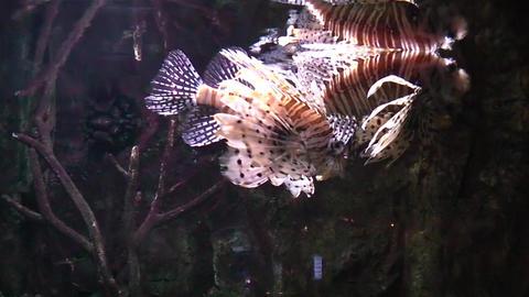 Lion fish in aquarium Footage