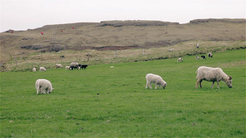 Sheep and young lambs grazing in a field 影片素材