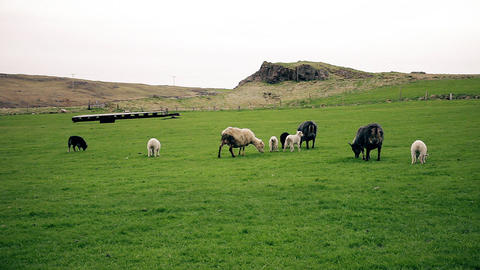 Sheep and young lambs grazing in a field