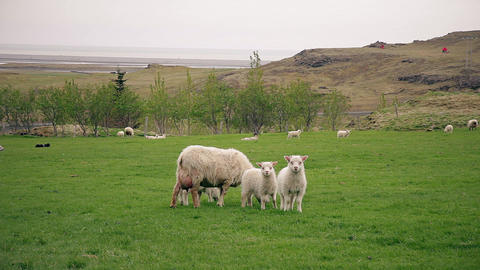Sheep And Lambs 1