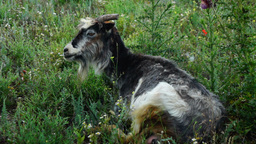 Tired Goat Resting On Meadow Footage