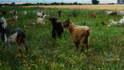 Goats Grazing On Grassland Footage