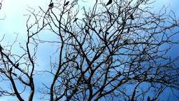 Crows In A Dry Tree On A Background Of Blue Sky Footage
