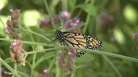 Monarch Butterfly On Flower Stem stock footage