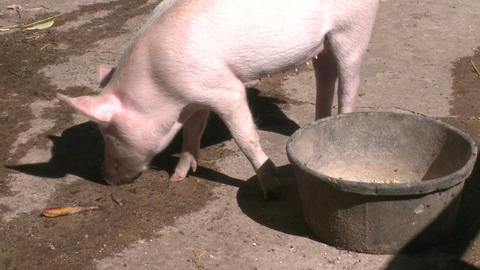 Pigs at petting zoo Live Action