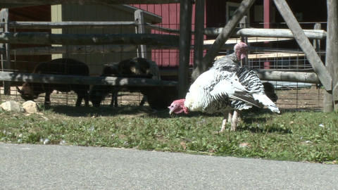 Turkeys At Heckscher Farm stock footage