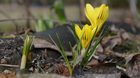 macro of crocus saffron blooms move in wind. first spring... Stock Video Footage