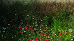 Opium Poppies (Papaver Somniferum) On The Field Swaying In The Wind Footage