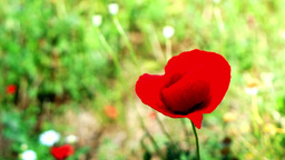 Opium Poppy (Papaver Somniferum) On The Field Swaying In The Wind Footage