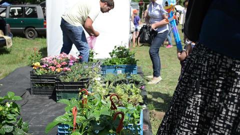 People buy strawberry seedling plants sold in market fair Footage