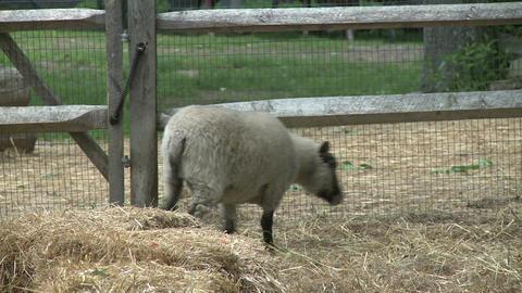 Sheep on farm Footage