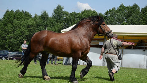 farmer man master demonstrates his saddle heavy horse in fair Footage