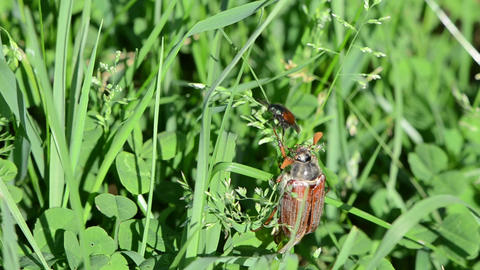 brown cockchafer chafer crawls grass stalks spread wings Stock Video Footage