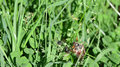 brown cockchafer chafer crawls grass stalks spread wings Footage