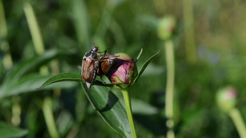 two dor crawls on pink peony bud spread wings trying to fly Stock Video Footage