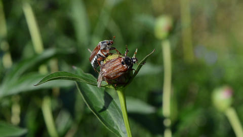 two dor crawls on pink peony bud spread wings trying to fly Footage