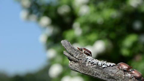 dry tree branch crawls brown chafer flies Footage