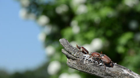 dry tree branch crawls brown chafer flies Stock Video Footage