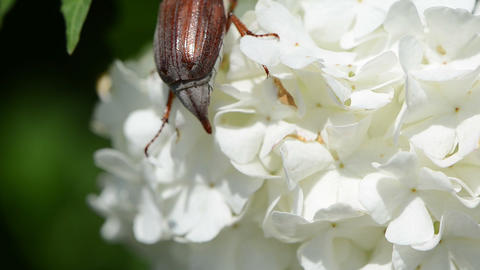 large maybug crept lazily through small white flowers Stock Video Footage