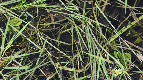 young tadpoles agile between the green grass hump Stock Video Footage