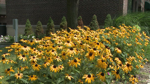 Yellow flowers (3 of 3) Stock Video Footage
