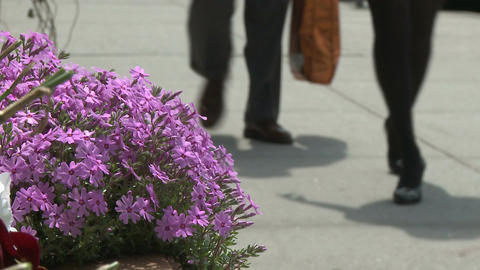 Purple flowers along the sidewalk (2 of 2) Stock Video Footage