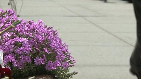 Purple flowers along the sidewalk (2 of 2) Footage