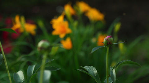 Orange lily and peony buds Live Action