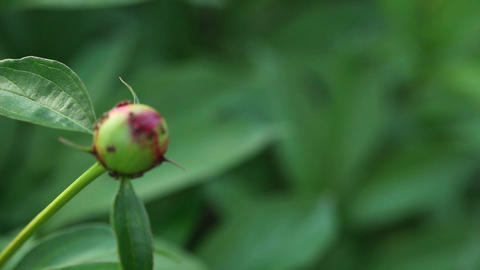 Ants on the peony bud Footage