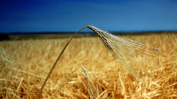 Golden Ear Of Wheat, Isolated, Intense Blue Sky Background Footage
