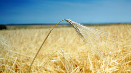 Golden Ear Of Wheat, Isolated,Blue Sky Background Footage