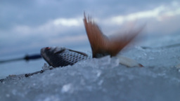 Freshly caught fish on ice in a very windy day Live Action