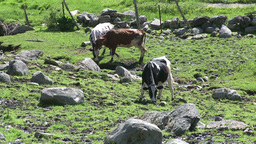 Cows Grazing In Rocky Pasture (1 Of 4) stock footage