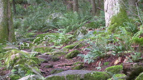 Ferns among the trees in a forest (1 of 3) Footage