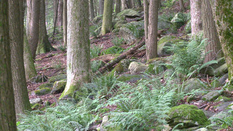 Ferns and rocks among the forest trees Footage
