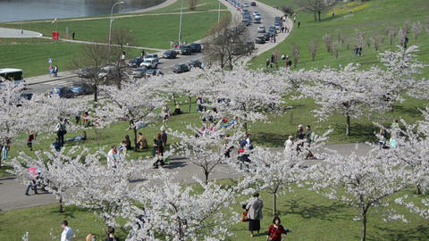 Tourists and citizens people enjoy Japanese cherry tree blooms Footage