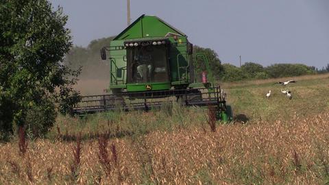 Harvester machine thrash peas plants in farm field Stork birds Footage