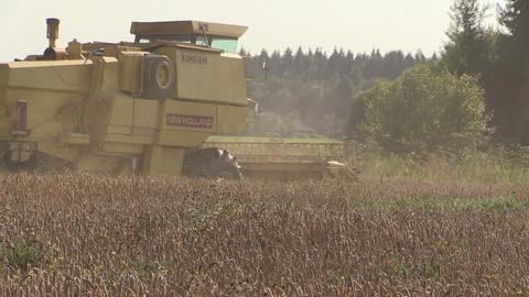 modern combine harvest wheat grain field and dust rise. Tripod Footage