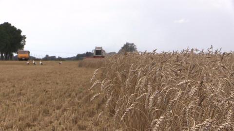grain sway wind, background harvester, vehicle, stork. Farming Footage