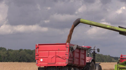 Harvester load wheat cereal into truck trailer Footage