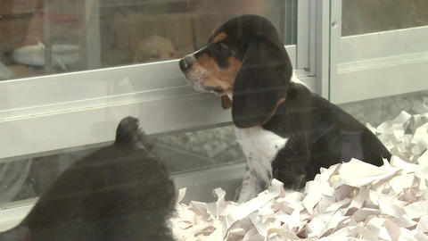 Puppies in a pet store (3 of 4) Footage