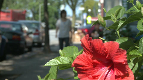 A Hibiscus along the sidewalk Footage