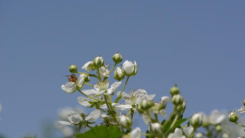 white buds of blackberries bees collect nectar sky background Footage