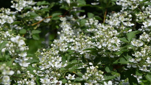 blackberries blossom sway in wind bees fly around the flowers Footage