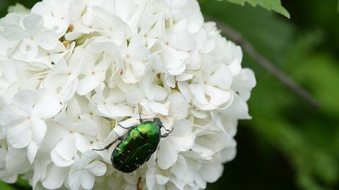 coleopteran bug cetoniidae sits comfortably on inflorescence Footage