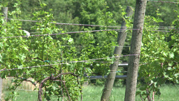 Grape Vines At Local Vineyard. (2 Of 2) stock footage